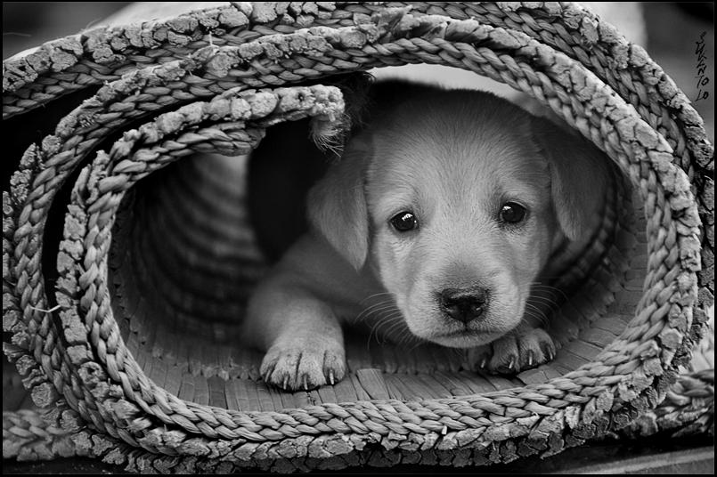 Puppy in a Rug