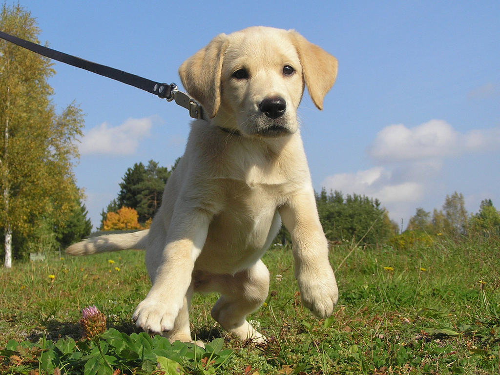 Leash Training a Puppy