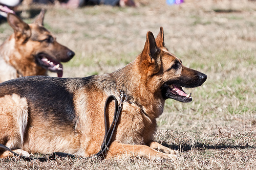 Training your german shepherd for therapy work at home